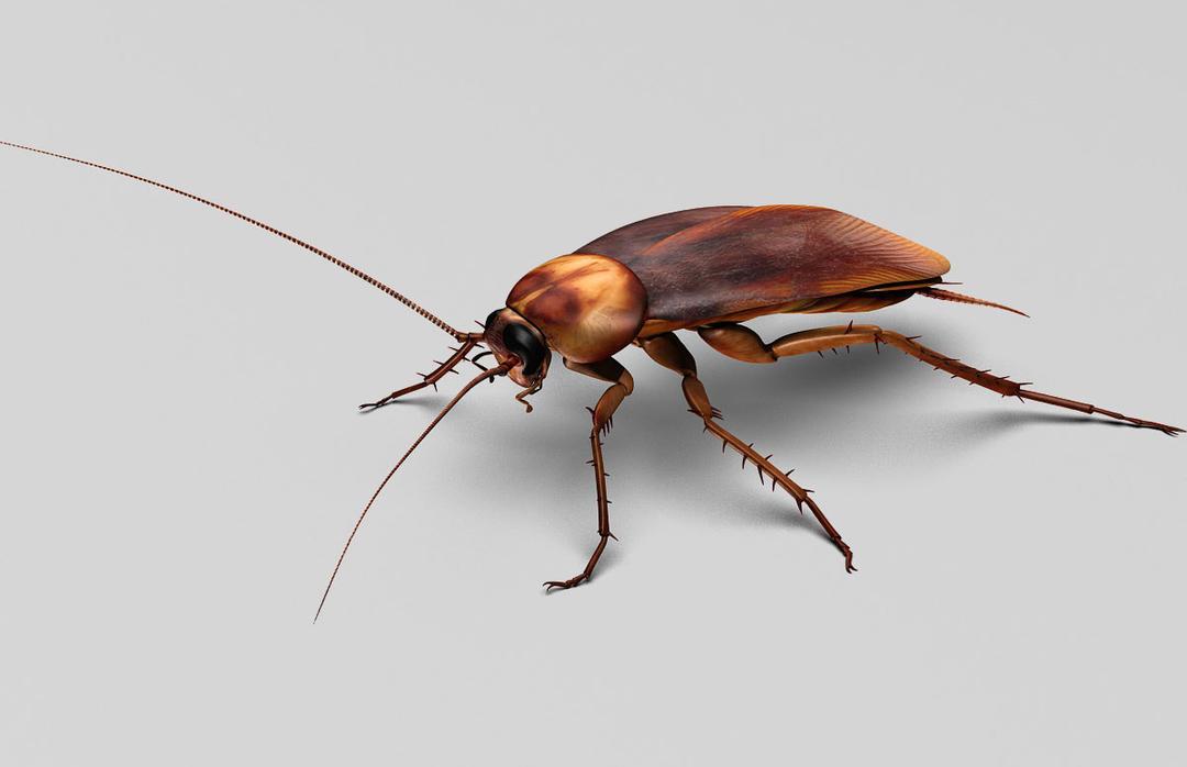蟑螂绑定3D模型 TurboSquid – Cockroach Rigged_3D模型