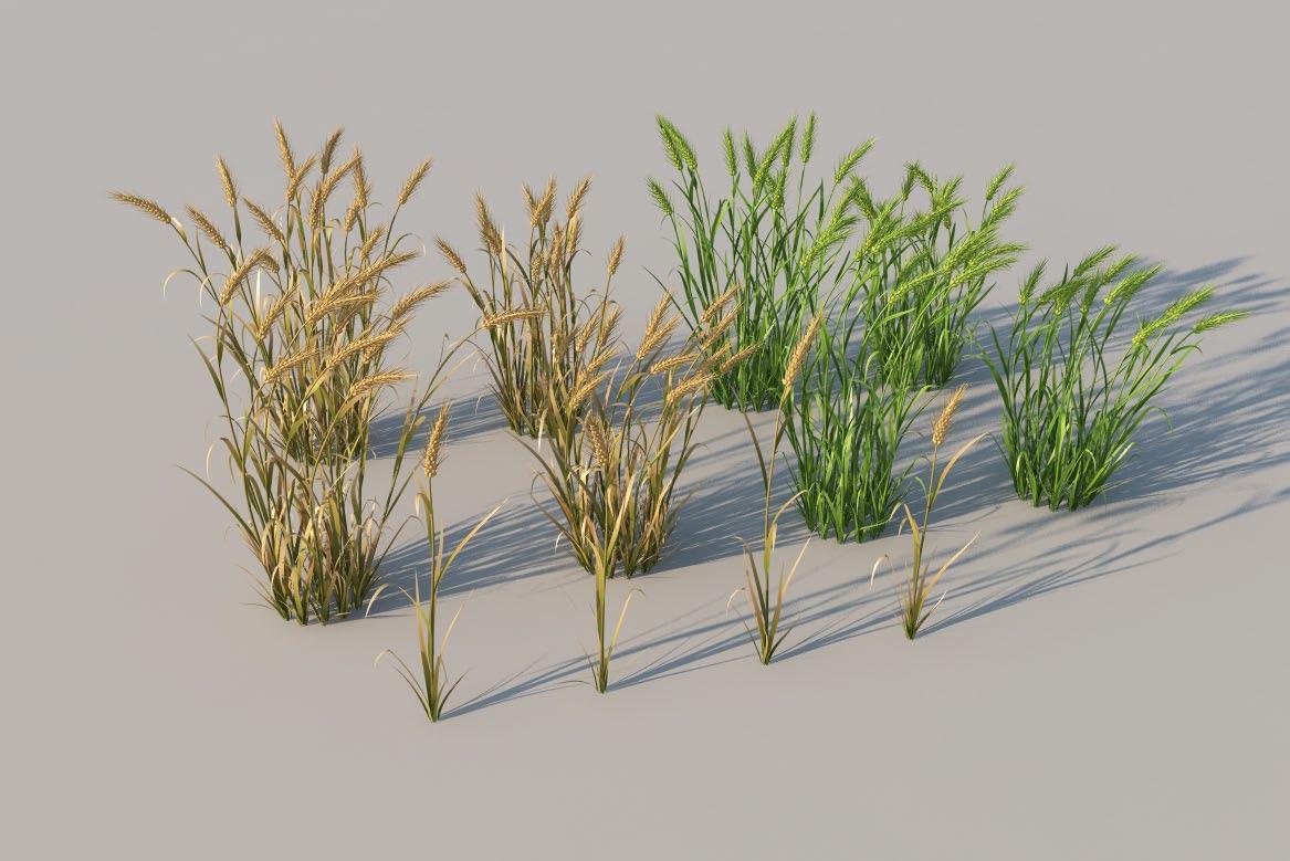 庄稼/农作物模型:小麦 麦苗 麦子C4D模型 wheat 3d model